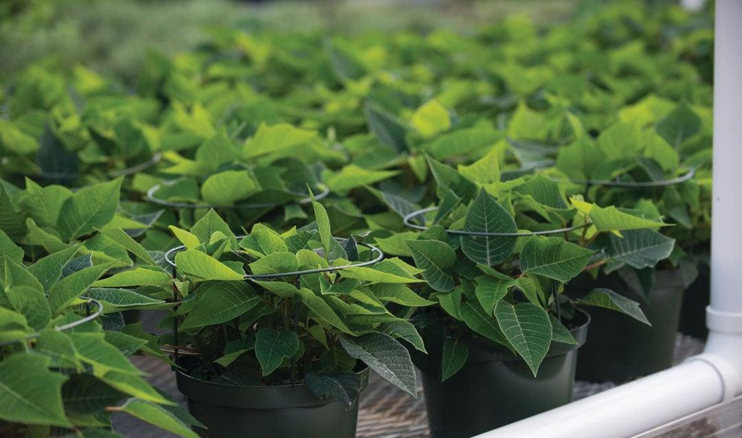 Poinsettias growing at Biltmore