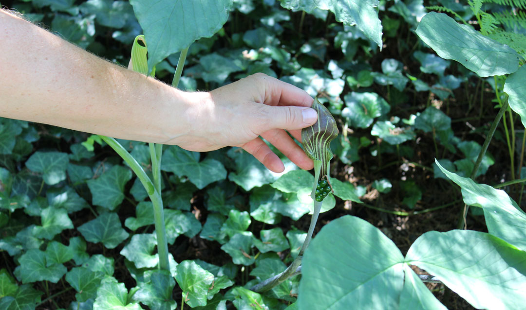 Jack-in-the-pulpit plant in Biltmore's Shrub Garden