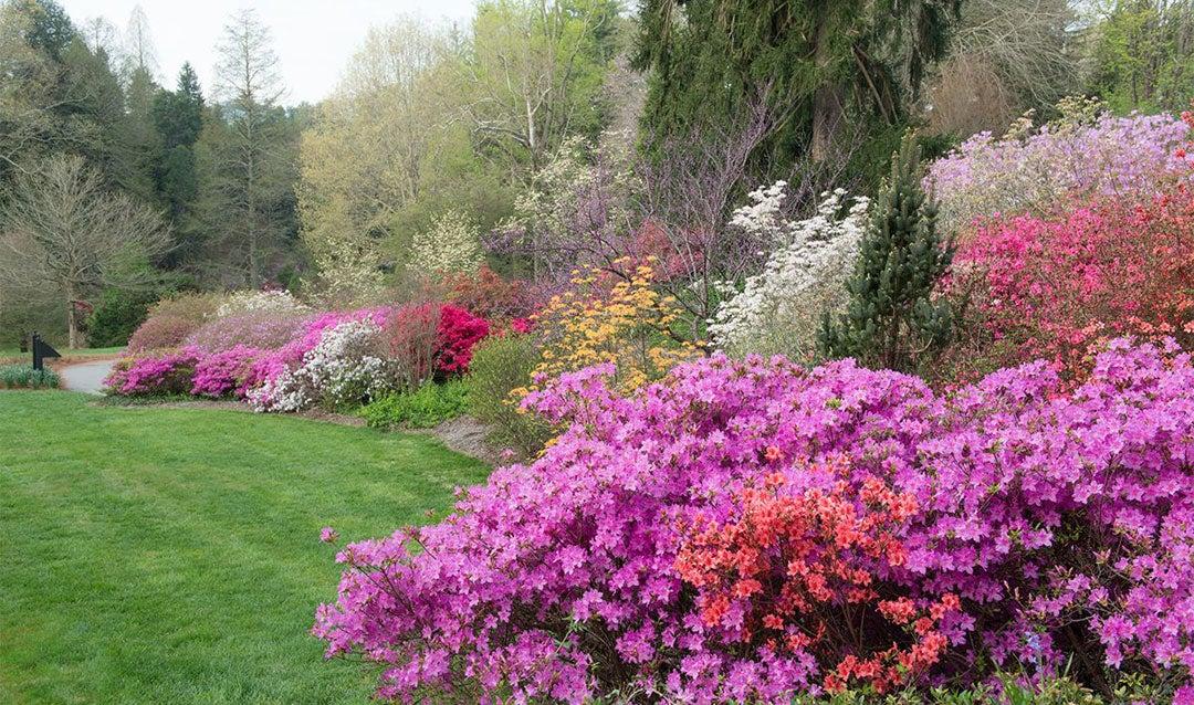 Azaleas blooming in late spring
