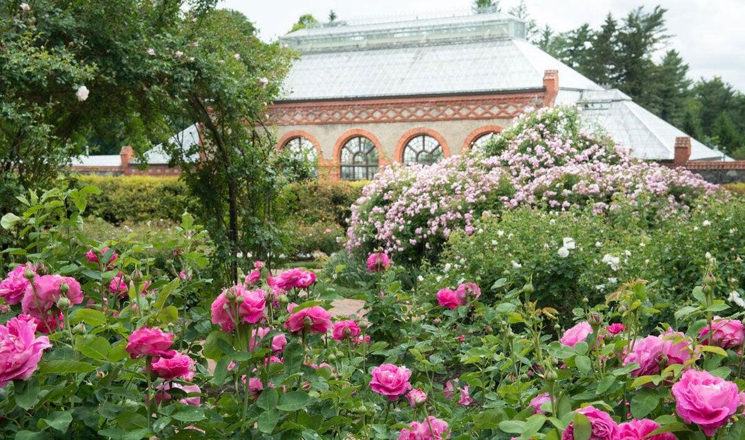 Roses blooming in Biltmore's Rose Garden