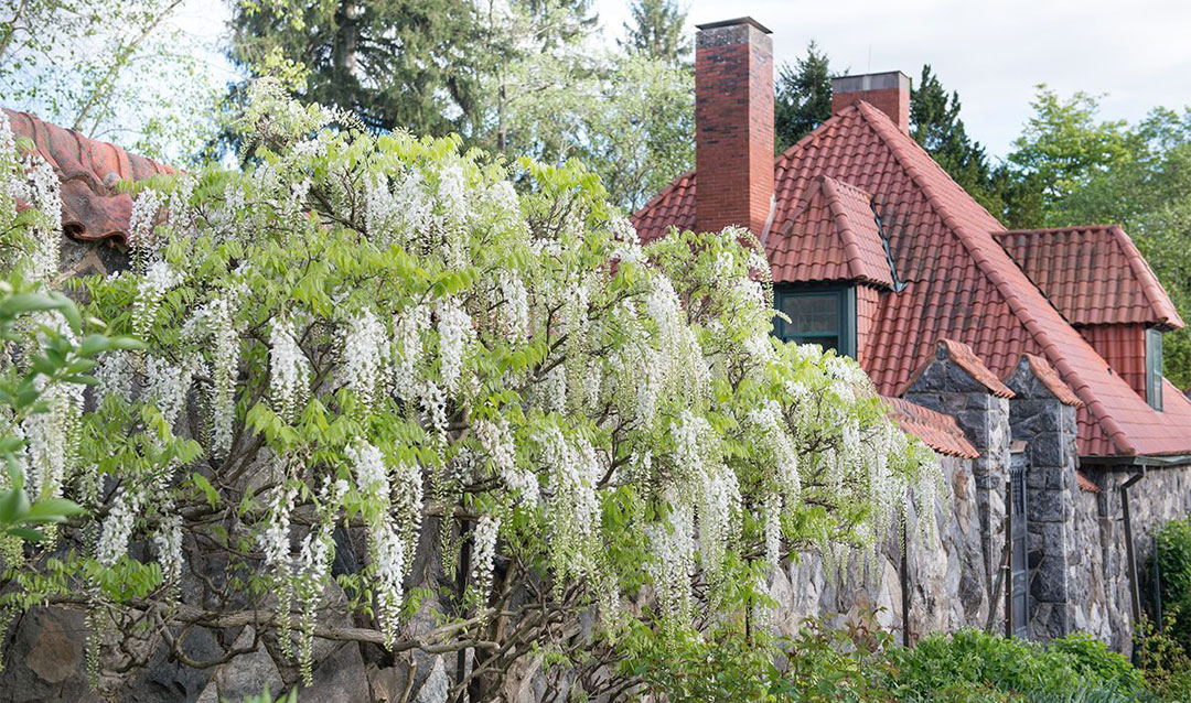 White wisteria blooming in Biltmore's Walled Garden