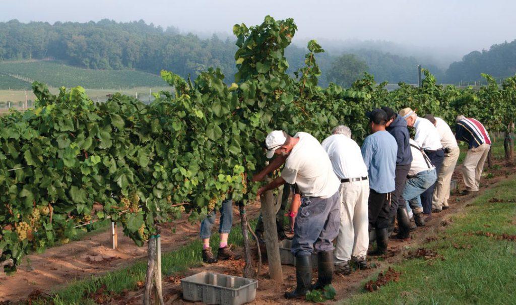 Biltmore vineyard with grape pickers