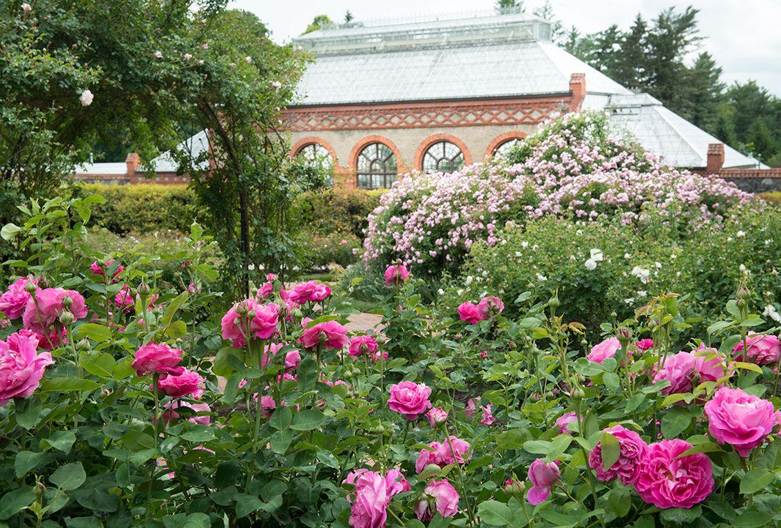 Perfect blooms in Biltmore's historic Rose Garden