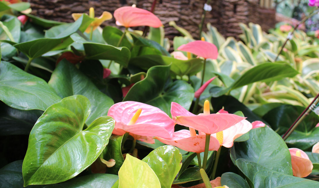 Pink anthurium in Biltmore's Conservatory