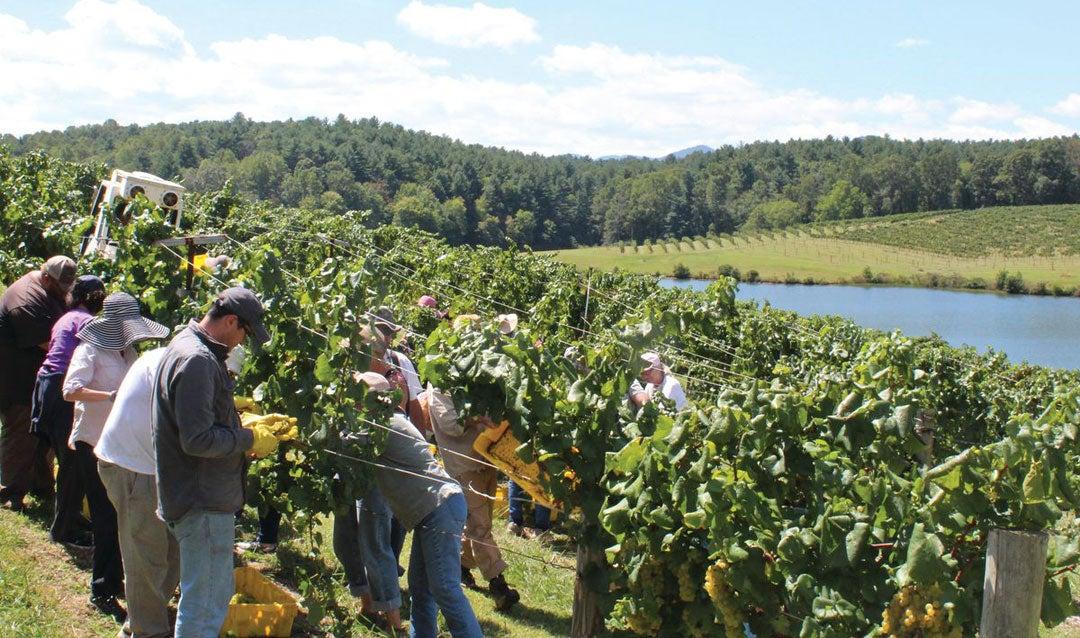 Workers pick grapes in Biltmore's vineyard