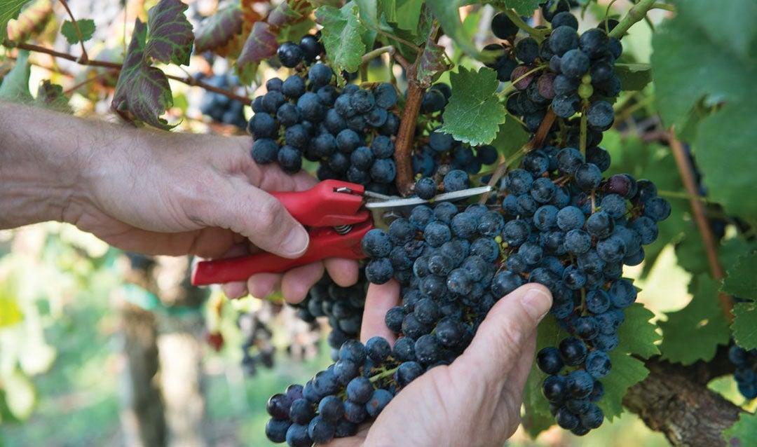 Picking red grapes at Biltmore