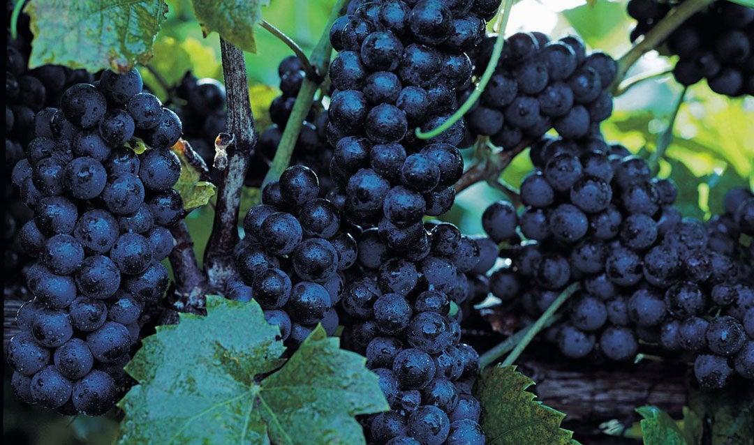 Ripe red grapes in Biltmore's vineyard