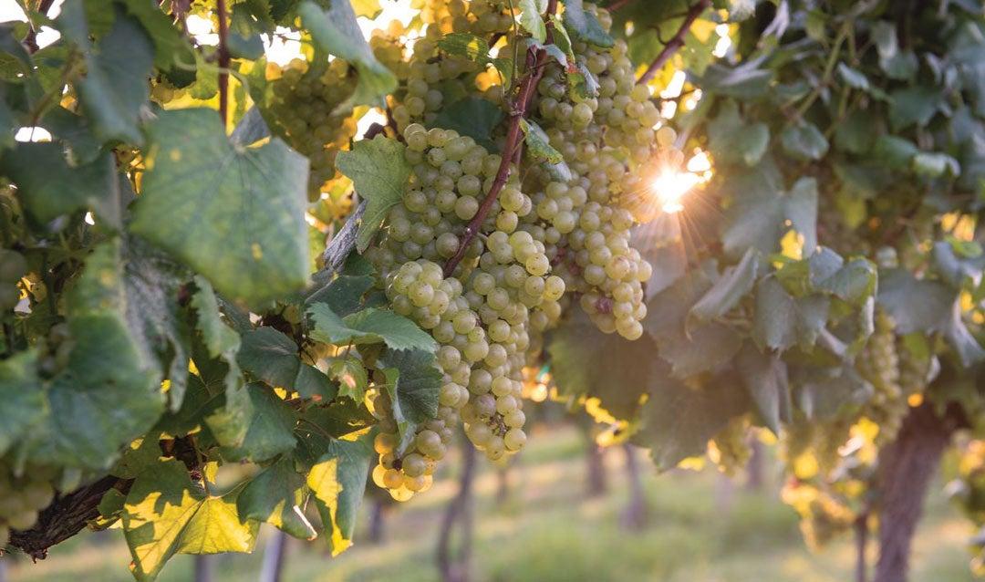Sun shining through grapes in Biltmore's vineyard