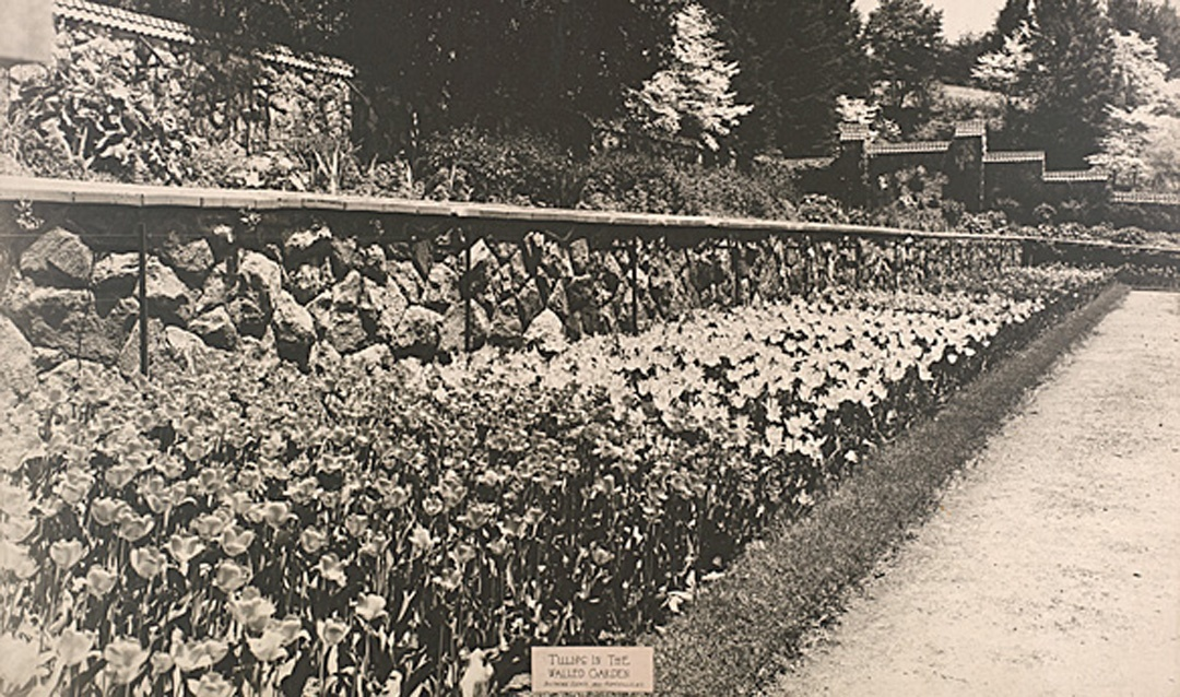 Archival image of Tulips in the Walled Garden