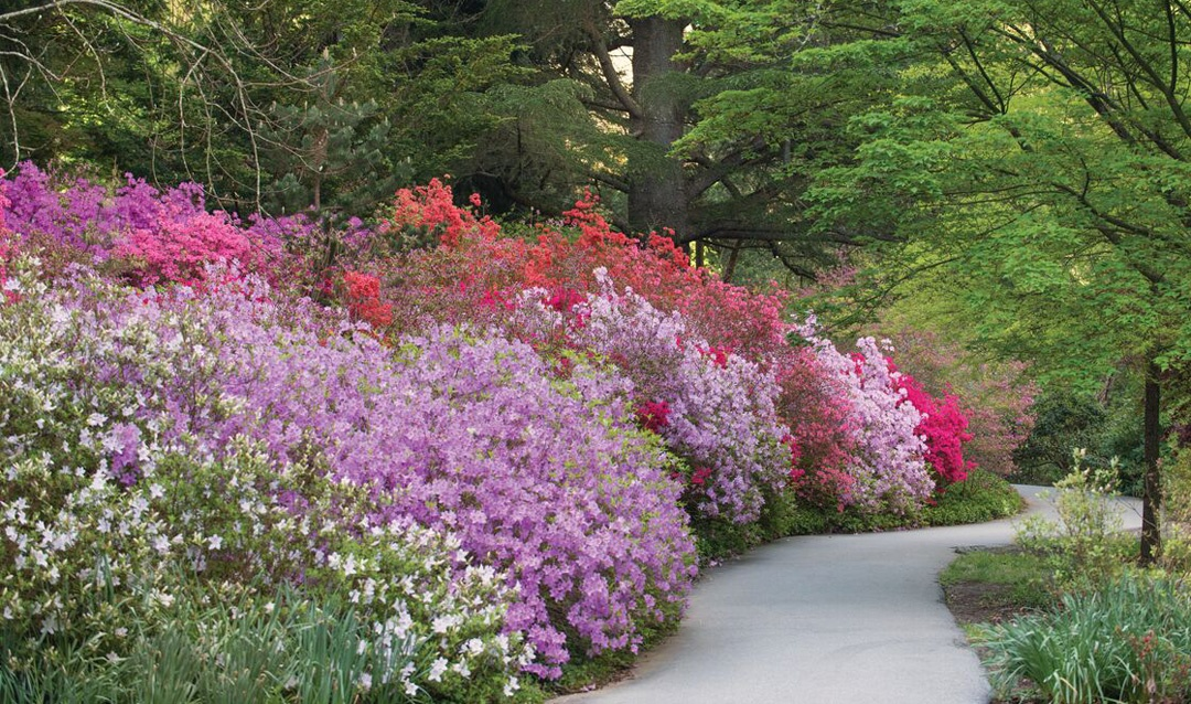 Azalea Garden in bloom