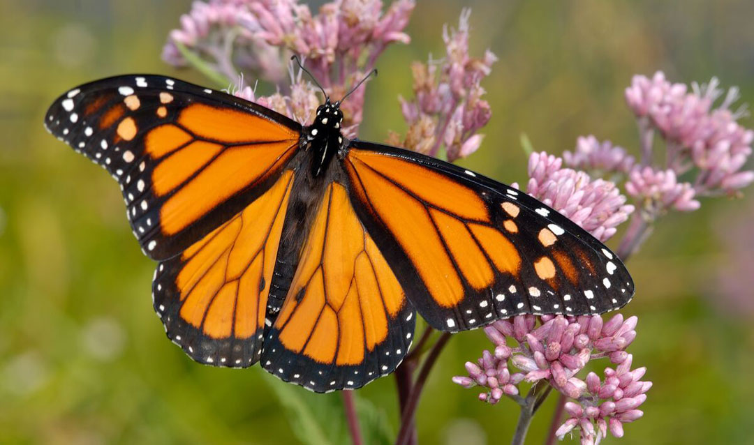 Monarch butterfly for Earth Day at Biltmore