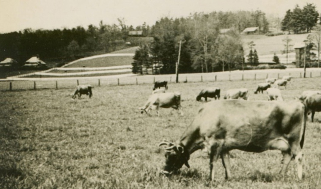 Archival photo of cows with Dairy Foreman's Cottage in the distance