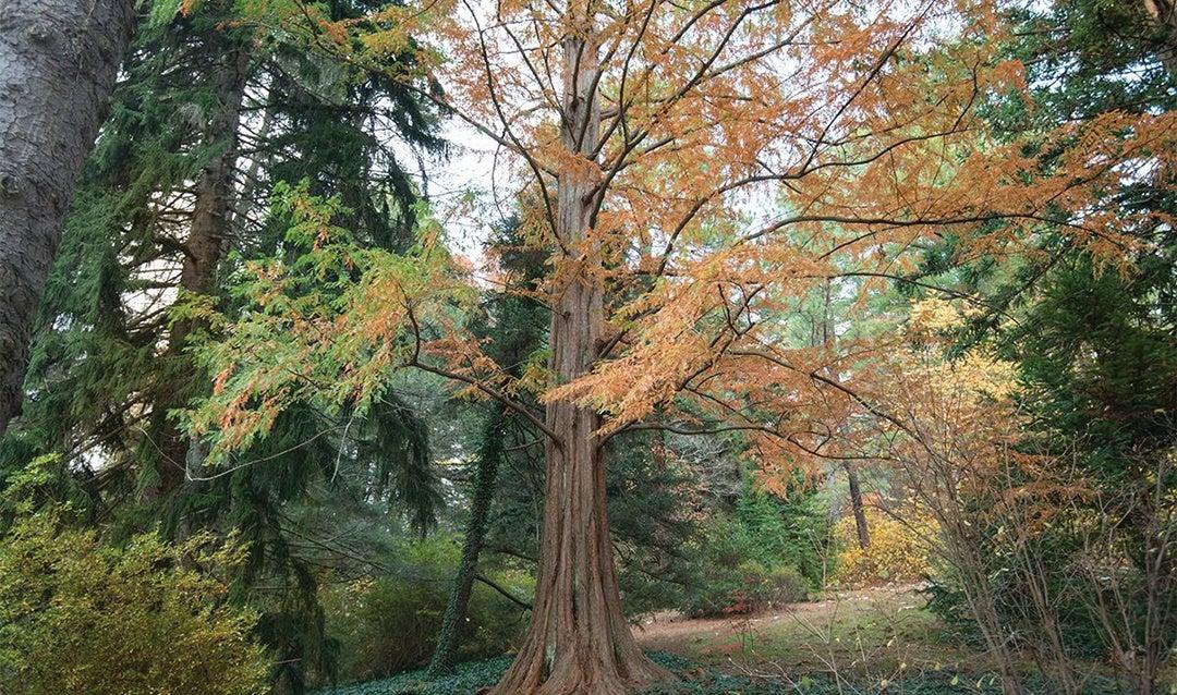 The dawn redwood is located in Biltmore's Azalea Garden.