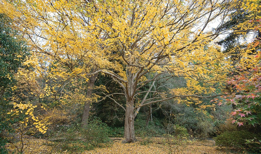 The katsura tree lives in the heart of Biltmore's Azalea Garden.